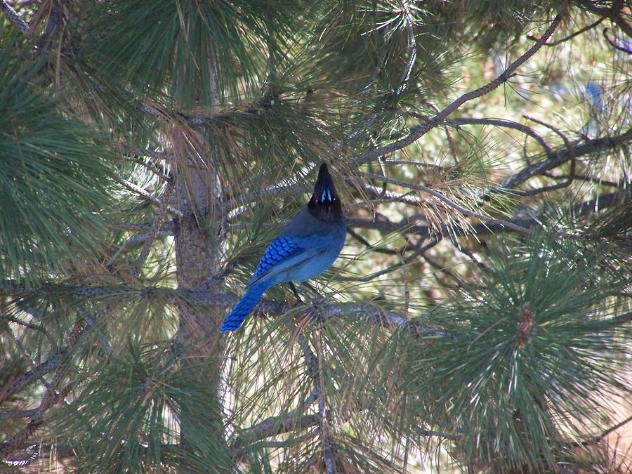 Tahoe Photograph - Blue Jay by Scott Yeager
