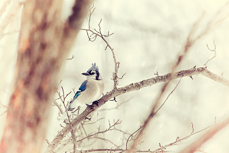 Blue Jay Photograph - Blue Jay Winter by Karol Livote