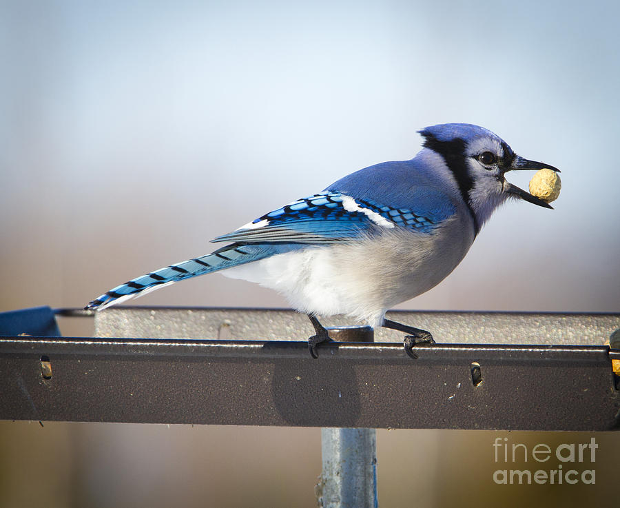 Canon Photograph - Blue Jay with a Mouth Full by Ricky L Jones