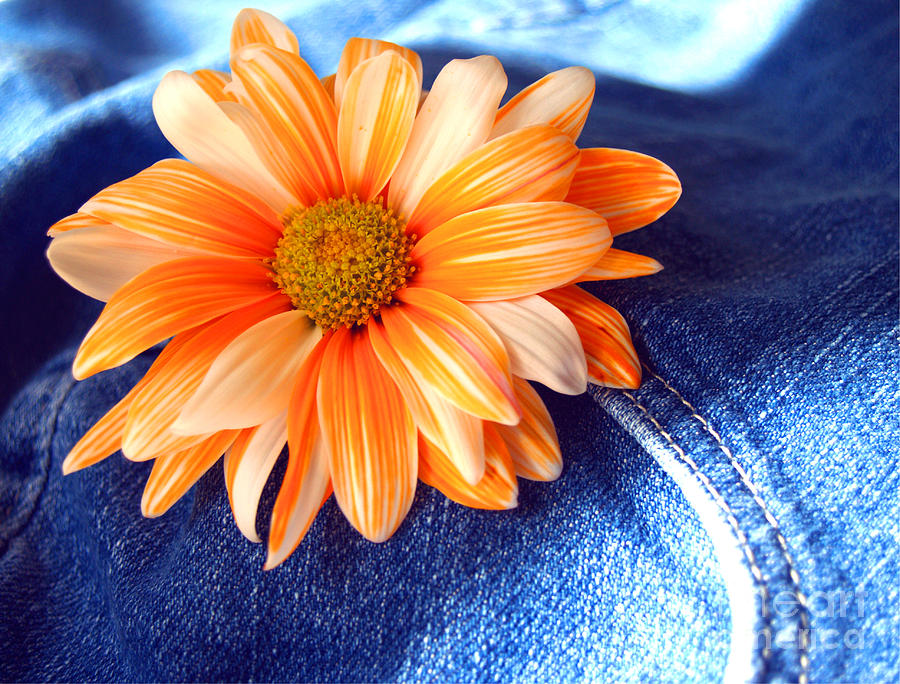 Gerbera Daisy Photograph - Blue Jeans And Daisies by Wendy Mogul
