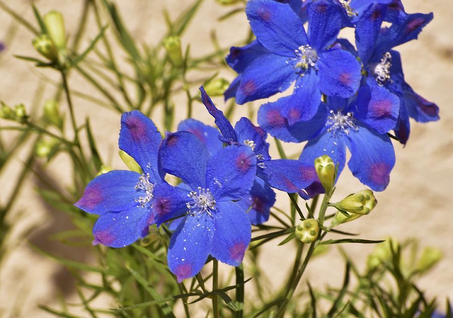 blue larkspur flower ii photograph by linda brody