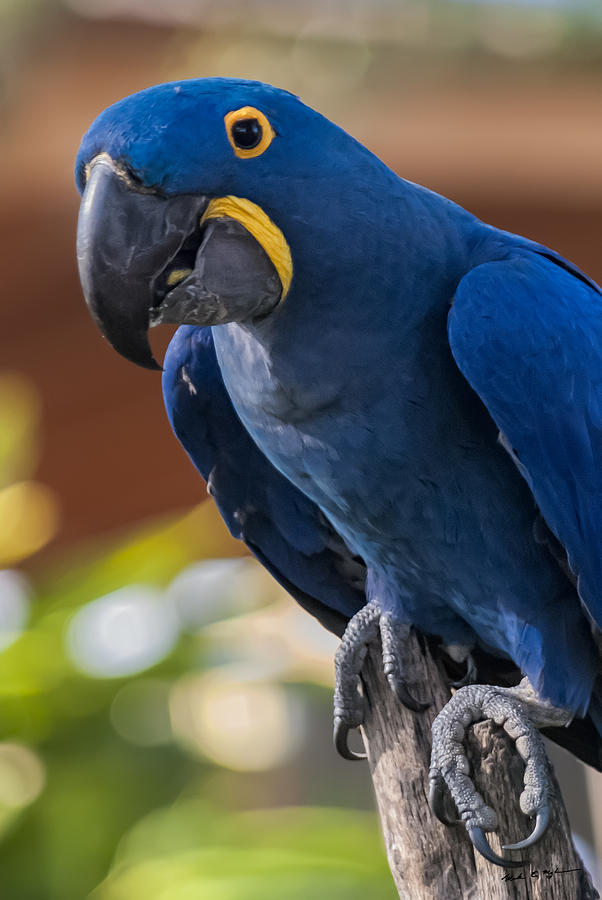 Blue Macaw Photograph