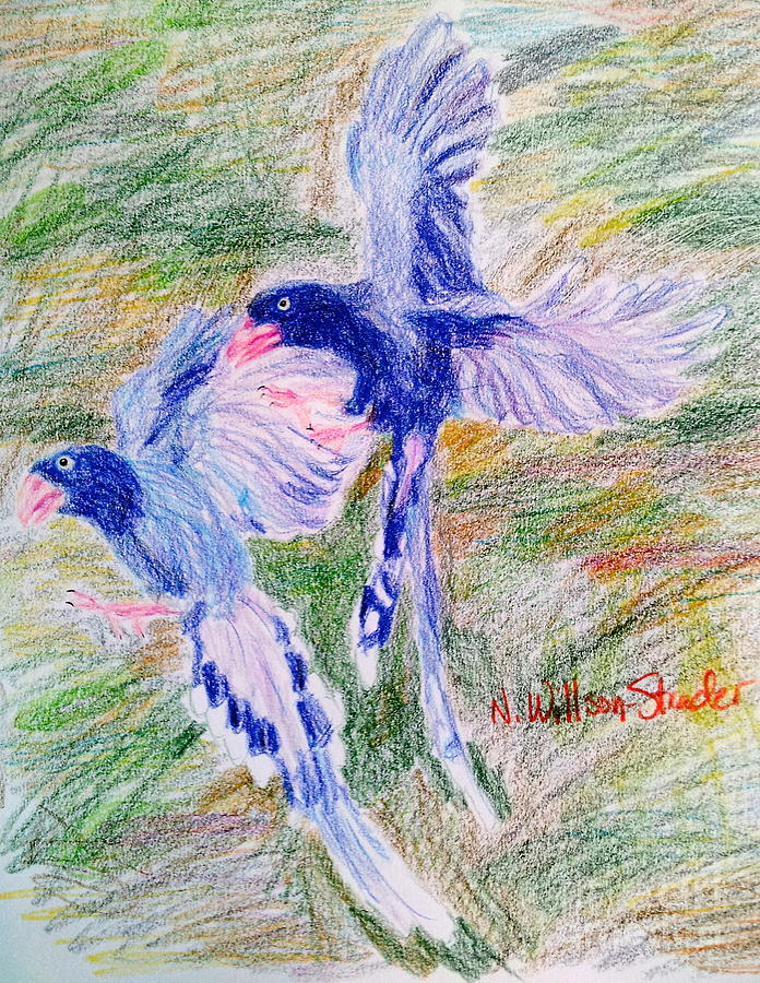 Taiwan Drawing - Blue Magpies by N Willson-Strader
