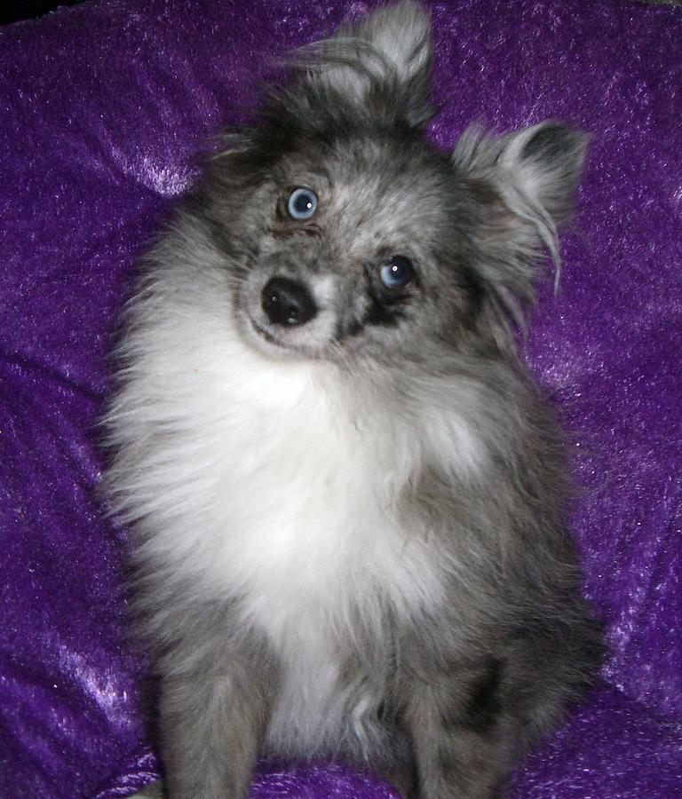 pomeranian eyes blue merle pomeranian photograph by kimberly morin 3091