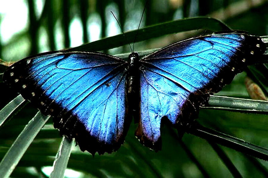 Butterfly Gardens Photograph - Blue Morph by Diane Wallace
