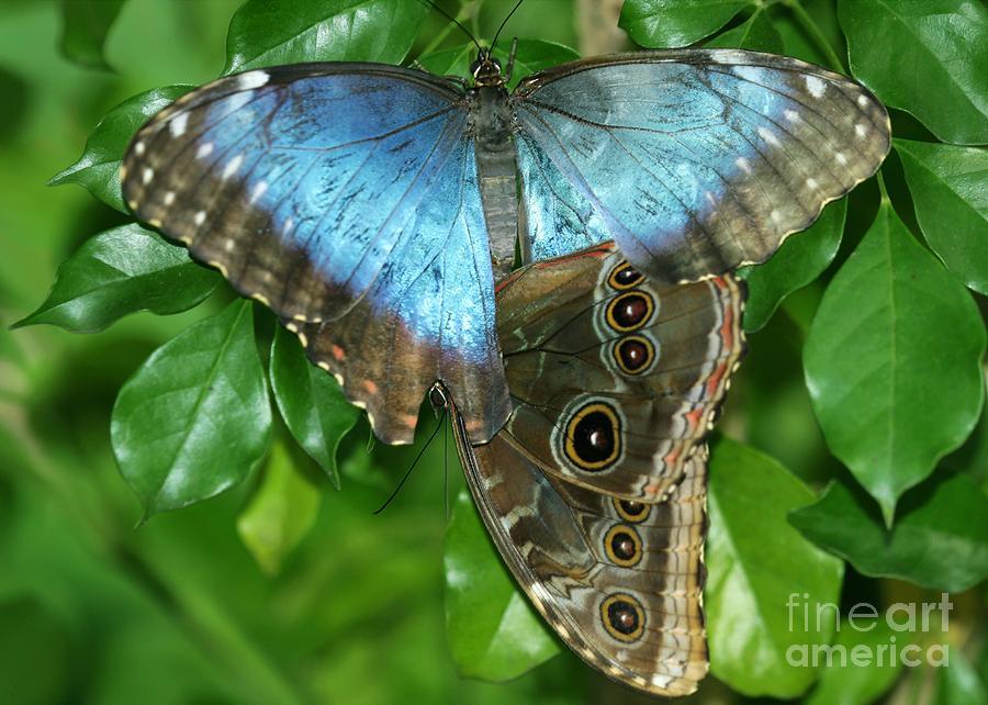 Blue Photograph - Blue Morpho Butterflies by Sabrina L Ryan