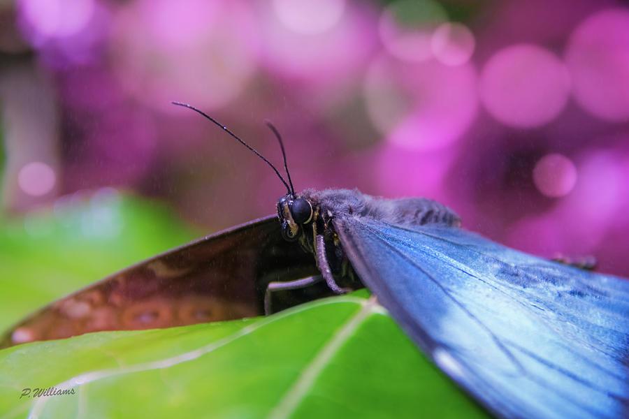 Blue Morpho  Butterfly 2 Photograph