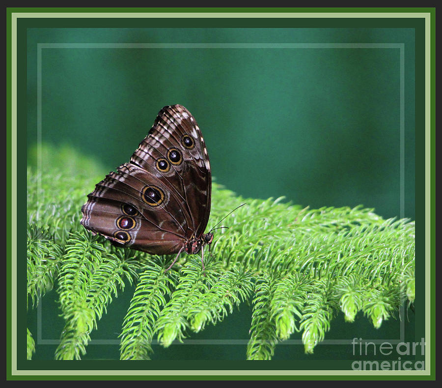 Butterfly Photograph   Blue Morpho Butterfly, Framed By Sandra Huston