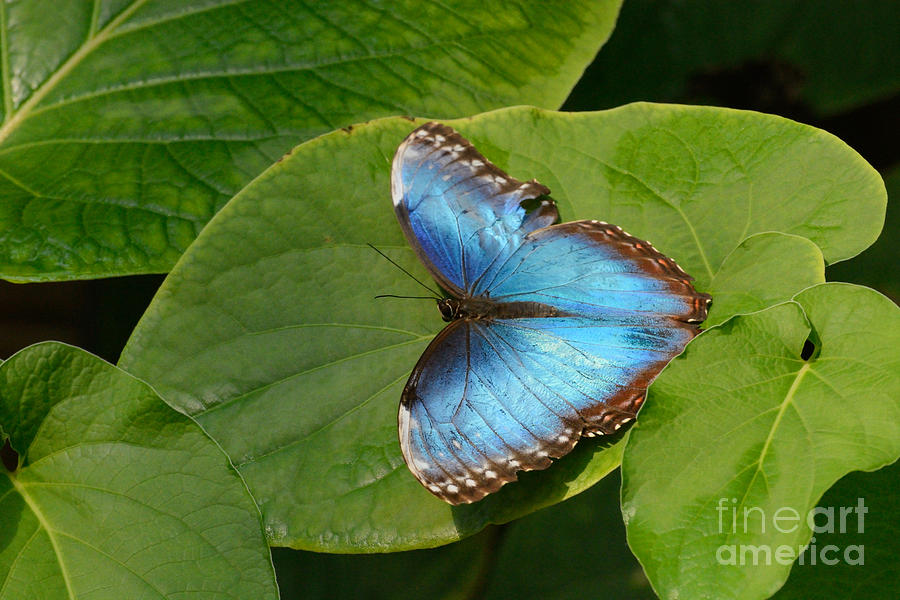 Blue Morpho Butterfly Photograph - Blue Morpho Butterfly II by Merrimon Crawford