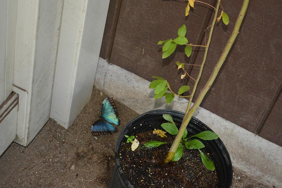 Blue Photograph - Blue Morpho Butterfly by Joe Smiga
