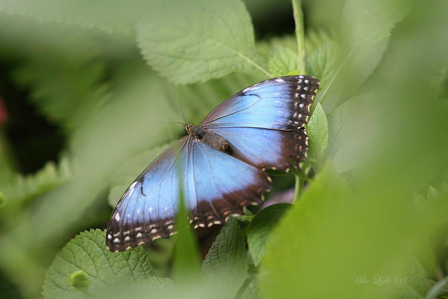 Blue Photograph - Blue Morpho Butterfly by Mike Lytle