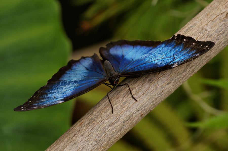 Butterfly Photograph - Blue Morpho Butterfly by Sandy Keeton