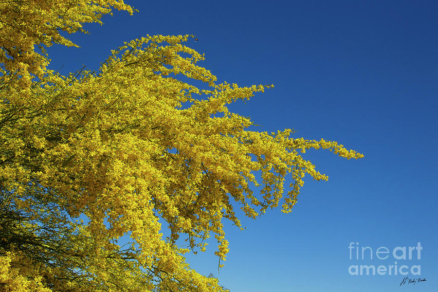 Tree Photograph - Blue Palo Verde Tree-signed-#2343 by J L Woody Wooden