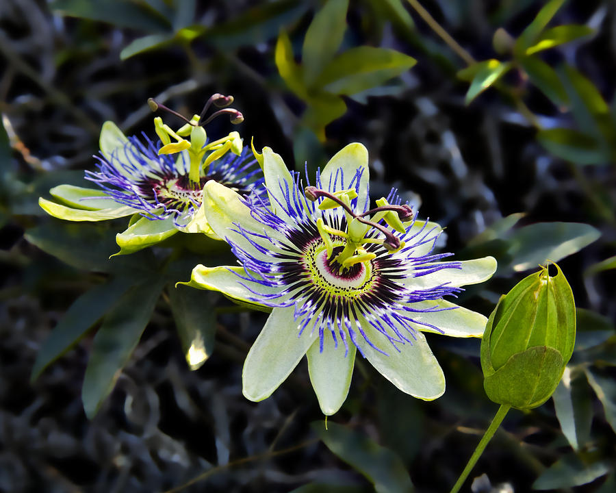 Flowers Photograph - Blue Passion Flower by Kelley King