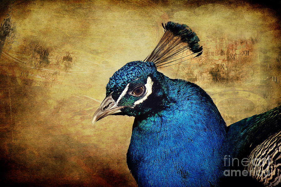 Peacock Photograph - Blue Peacock by Angela Doelling AD DESIGN Photo and PhotoArt