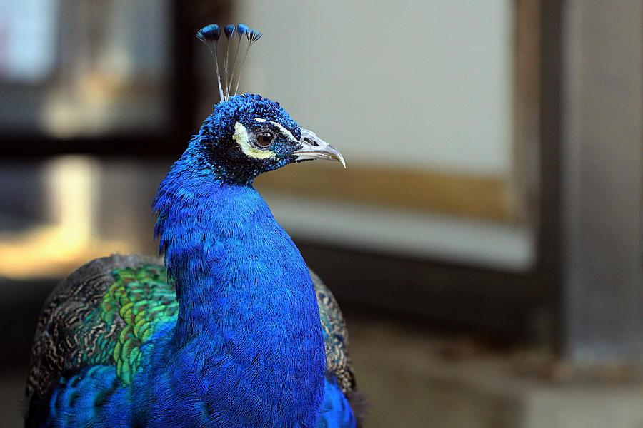 Blue Peacock Portrait Photograph