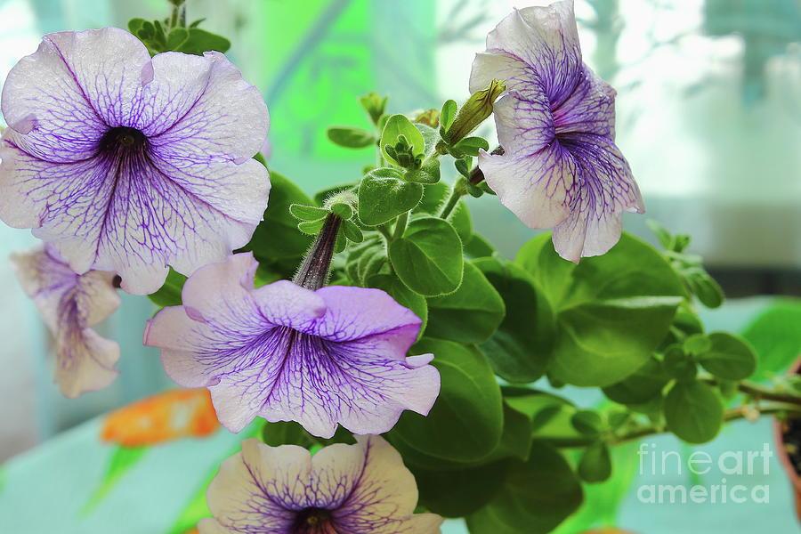 Blue Petunia. Macro Photograph