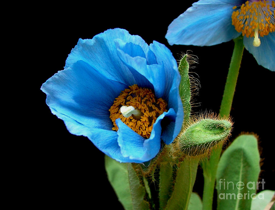 Meconopsis Photograph - Blue Poppy by Robert Nankervis