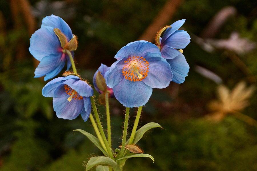 Blue Poppy Splendor by Byron Varvarigos