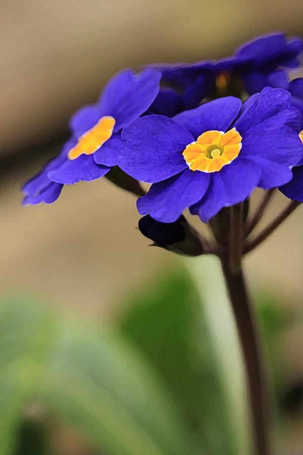 Blue Photograph - Blue Primrose by Amy Neal
