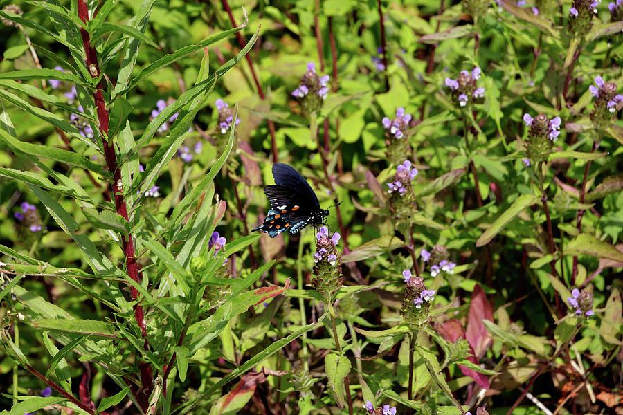 Blue Ridge Butterflies 1 by Matt Sexton