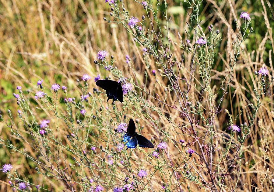 Blue Ridge Butterflies 3 by Matt Sexton