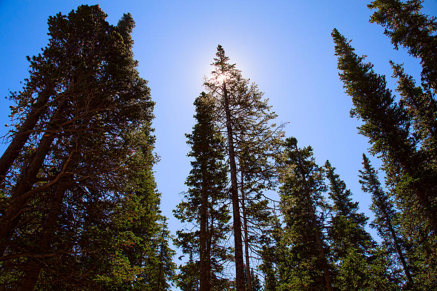 Blue Sky And Forest Pine Trees Photograph