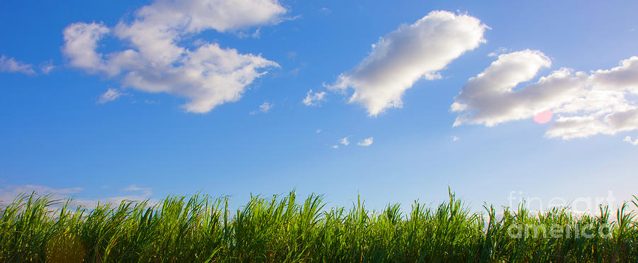 Agriculture Photograph - Blue Sky And Sugar Cane - Maui Hawaii by Denis Dore
