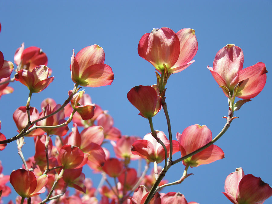 Dogwood Photograph - Blue Sky Art Prints Pink Dogwood Flowers 16 Dogwood Tree Art Prints Baslee Troutman by Baslee Troutman