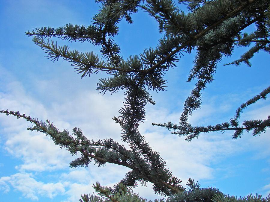 Pine Photograph - Blue Sky Art Prints White Clouds Conifer Pine Branches Baslee Troutman by Baslee Troutman