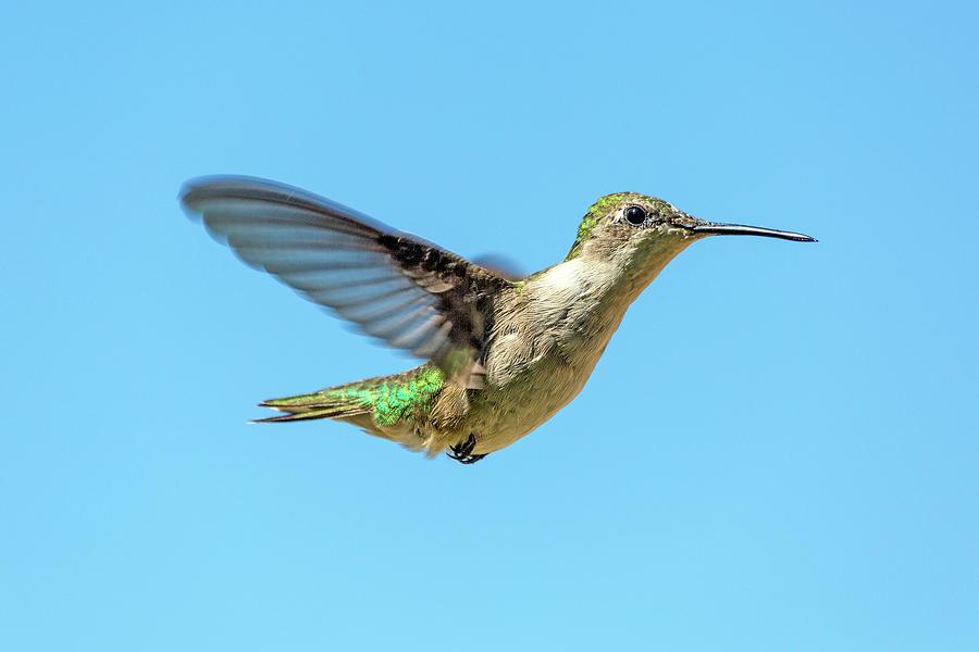 Hummingbird Photograph - Blue Sky Hummingbird by Betsy Knapp