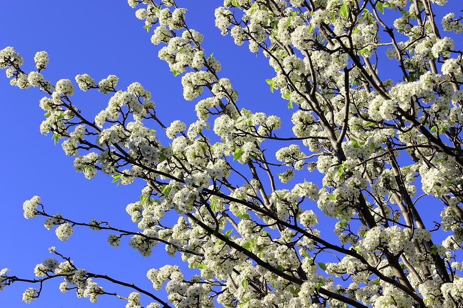 Blue Sky Pear Blossom by Elizabeth Anne