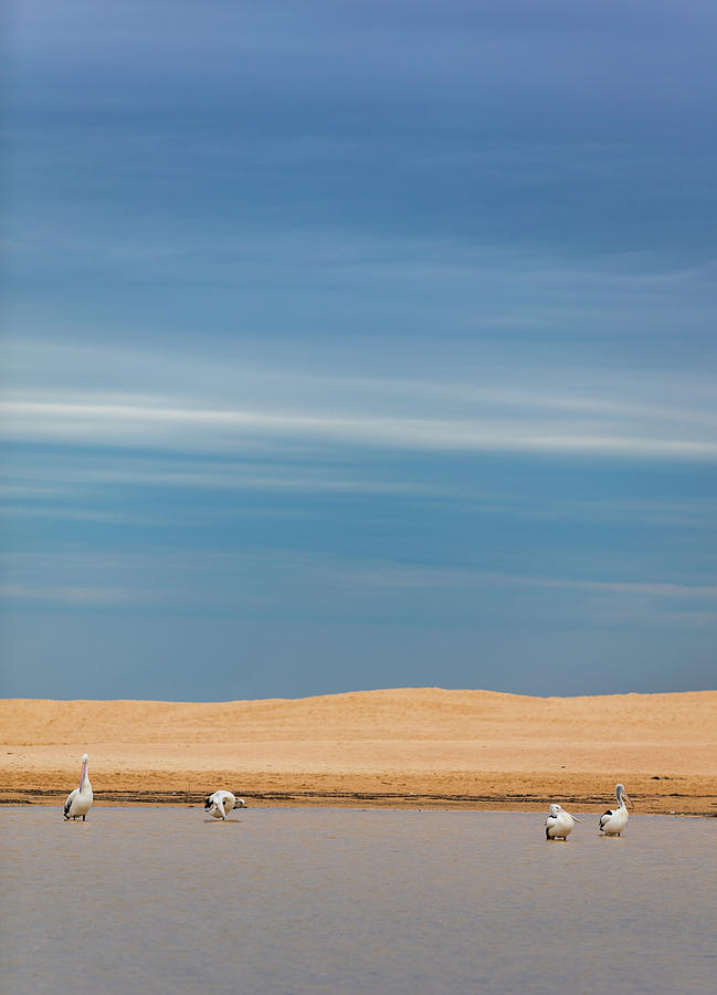 Blue Sky Pelicans by Chris Cousins