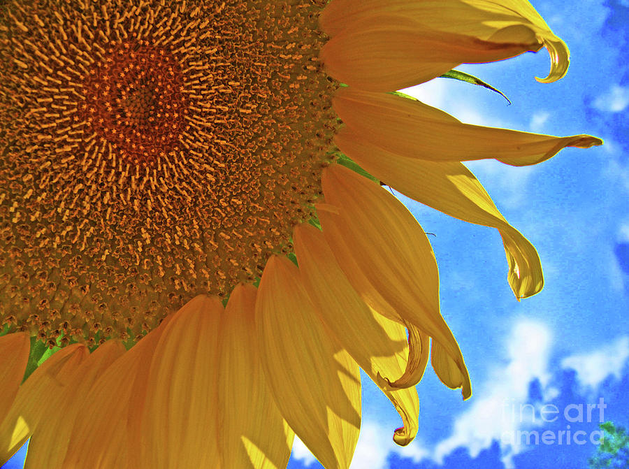 Blue Sky Sunflower by George D Gordon III