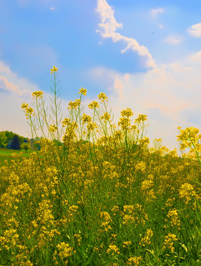 Flowers Photograph - Blue Sky Yellow Flowers by Bill Cannon