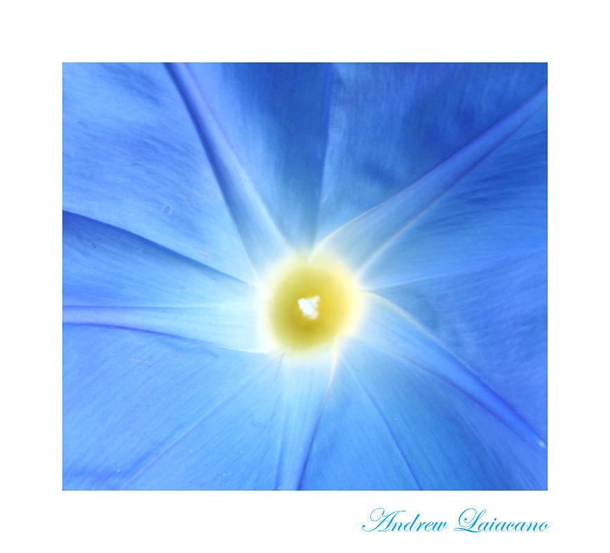 Macro Photograph - Blue Star by Andrew Laiacano
