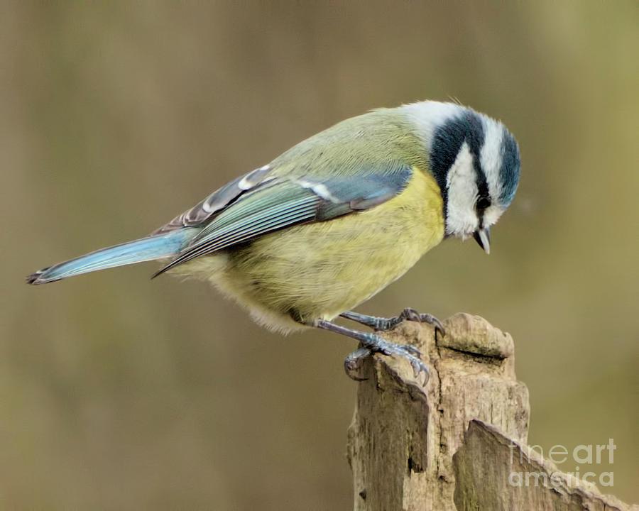 Bird Photograph - Blue Tit 2 by Baggieoldboy