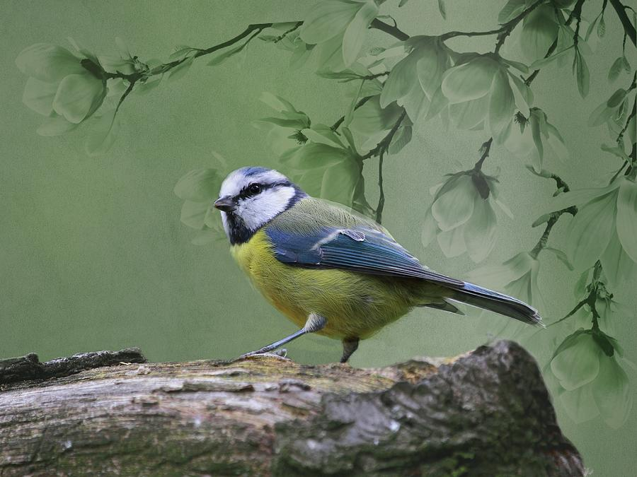 Blue Tit Bird by Movie Poster Prints