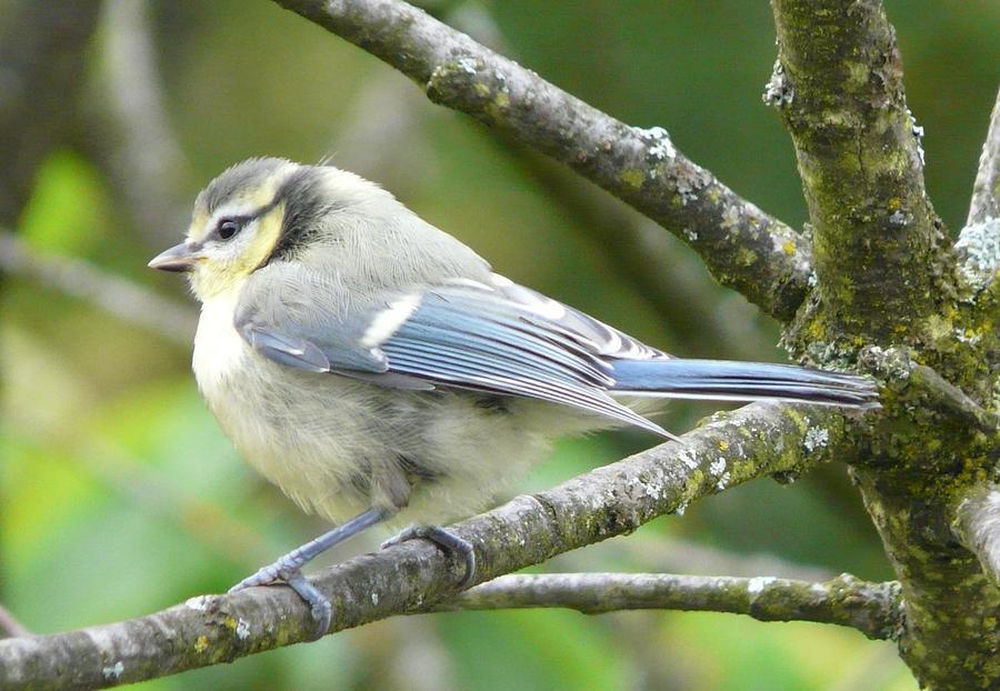 Bird Photograph - Blue Tit by Valerie Ornstein