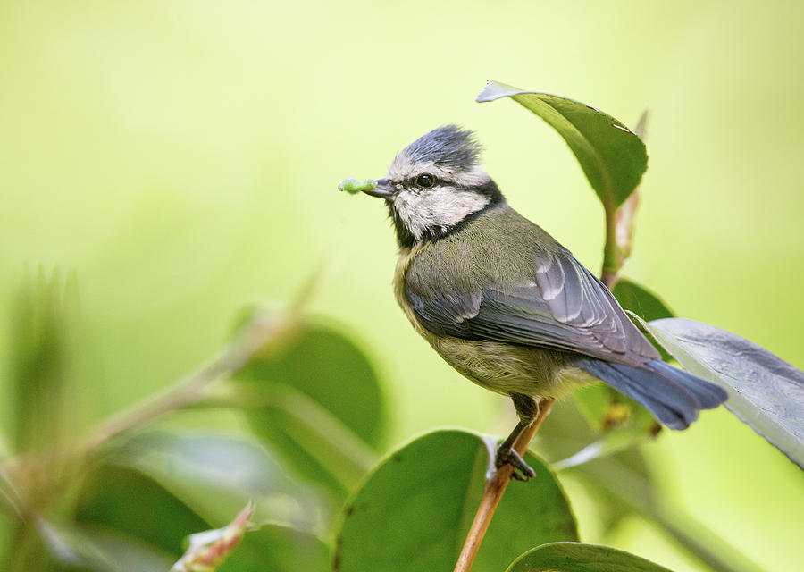 Blue Tit Photograph - Blue Tit With Caterpillar by Alan Grant