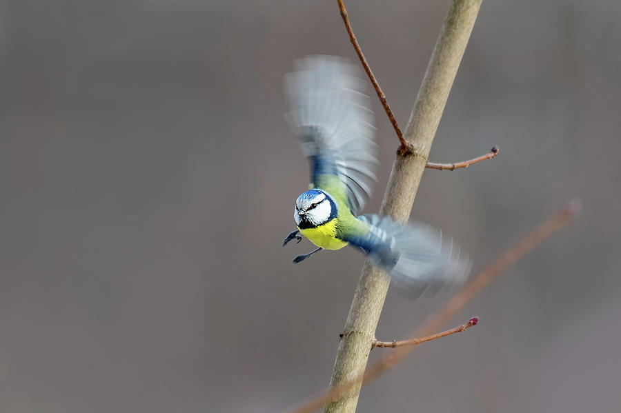 Blue Tit in Flight by Boyce Fitzgerald