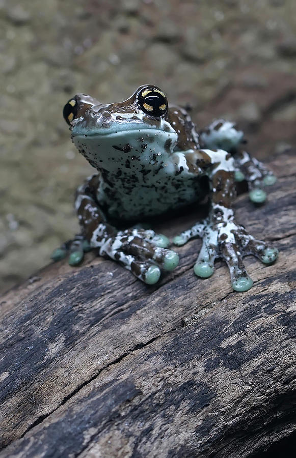Animal Photograph - Blue Tree Frog by Jaroslaw Blaminsky