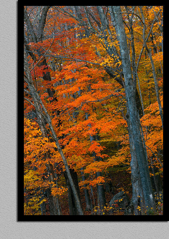 Autumn Photograph - Blue Trees - Orange Leaves - White Mountains - New Hampshire by Sven Anderson