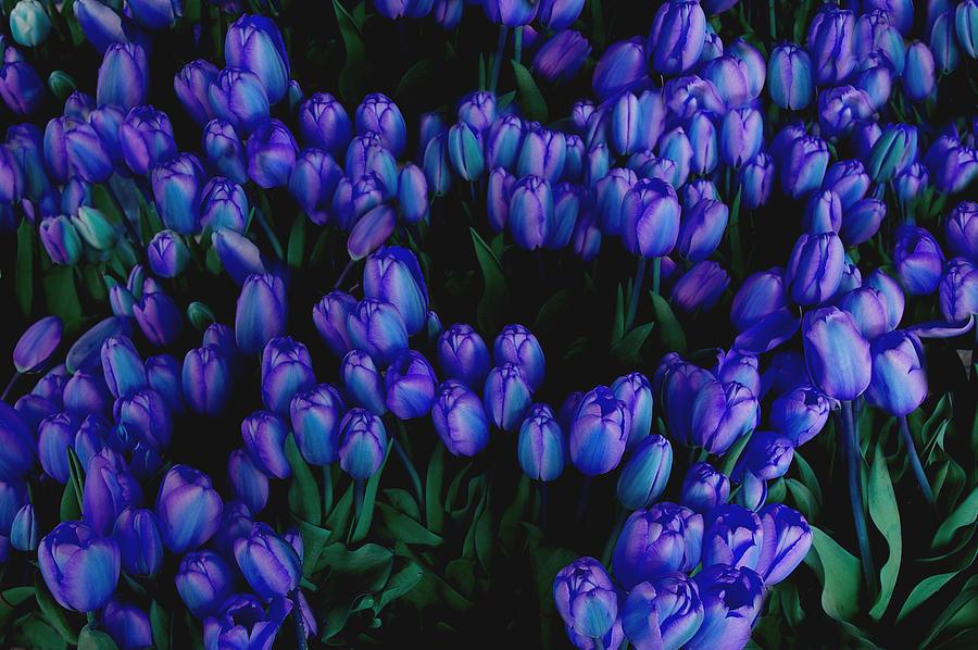Blue Tulips Photograph by Tom Reynen