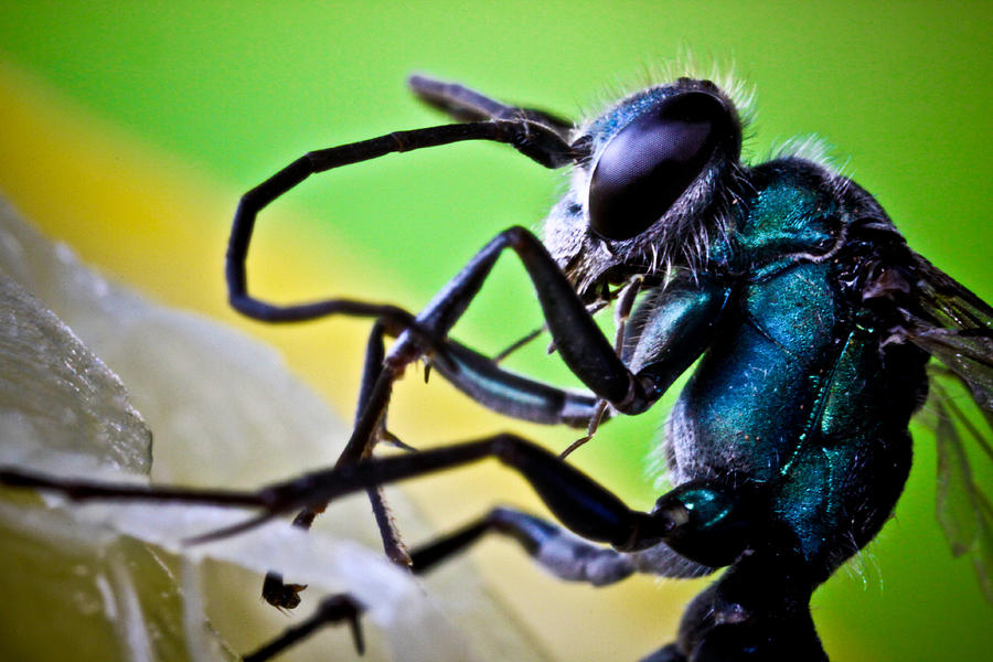 Fly Photograph - Blue Wasp On Fruit by Ryan Kelly