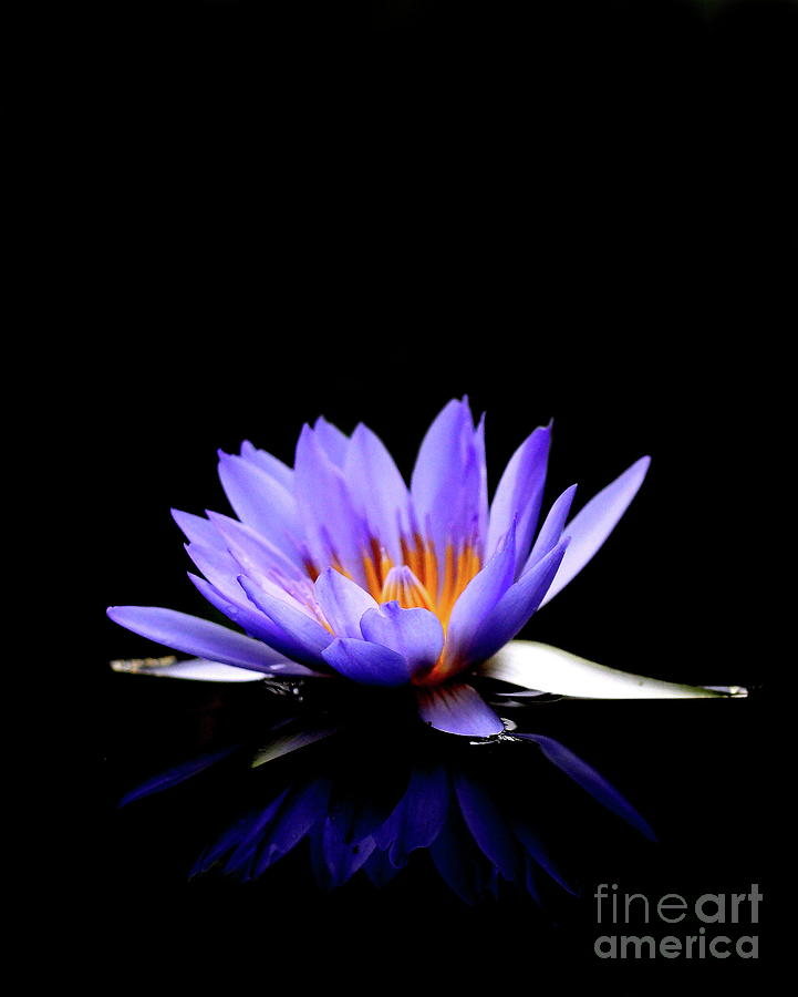 Flower Photograph - Blue Water Lily . 7d5714 by Wingsdomain Art and Photography