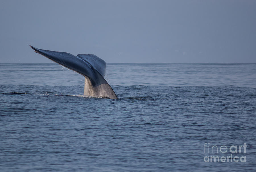 Blue Photograph - Blue Whale Tail by Suzanne Luft