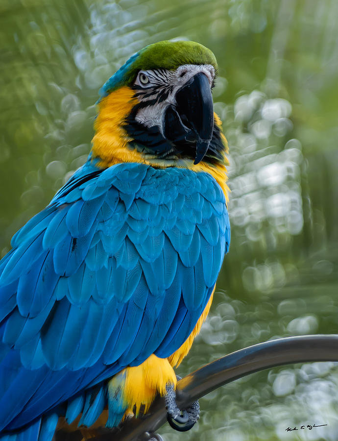 Blue Yellow Macaw No.2 Photograph