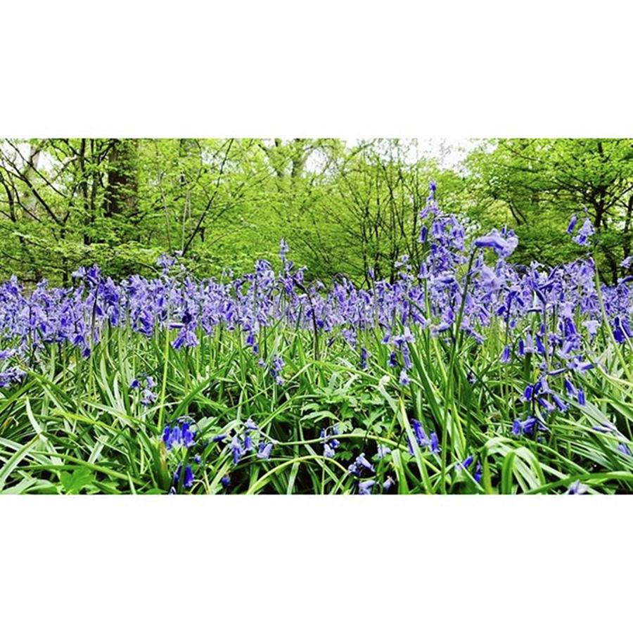 Bluebell Photograph - #bluebell #flowers #spring  #woodland by Natalie Anne