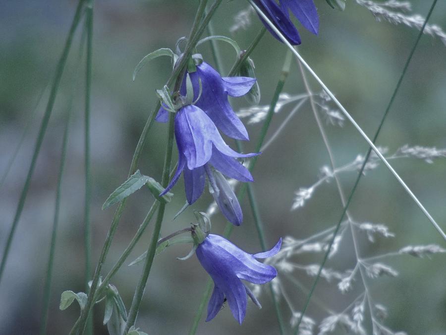 Bluebell Meadow by Barbara St Jean